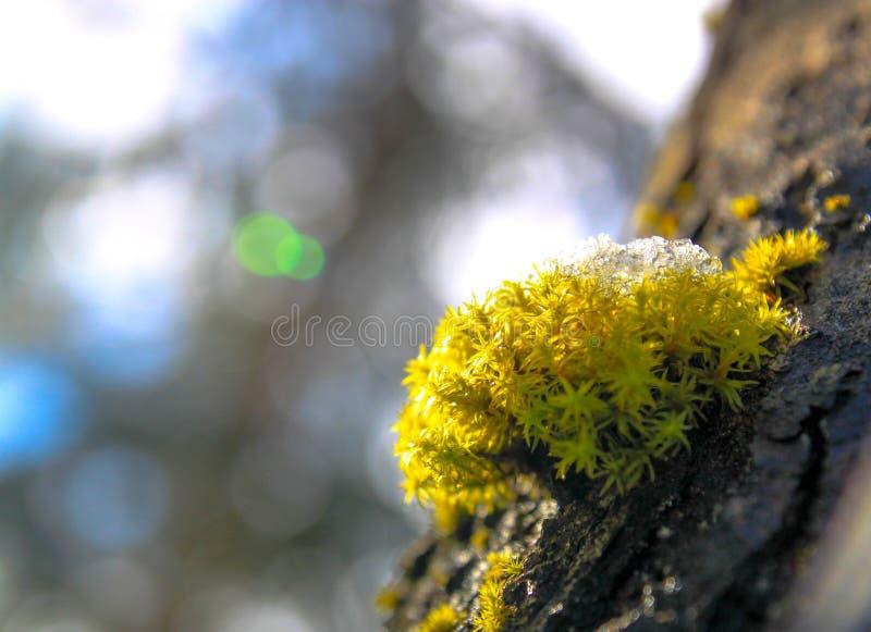 生长在树的雪绿色青苔 库存图片