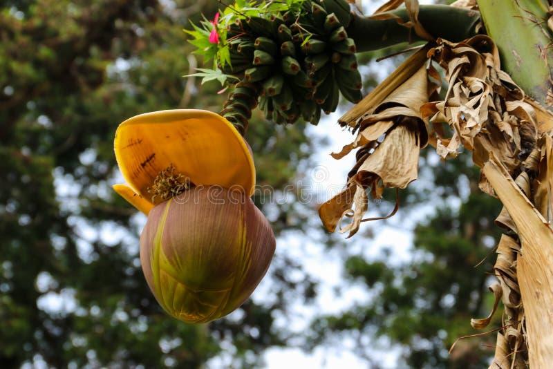 生长在树的香蕉花和小绿色香蕉 库存照片