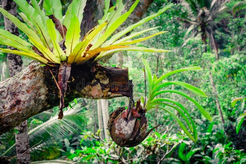 生长在椰子壳罐的热带兰花 库存照片