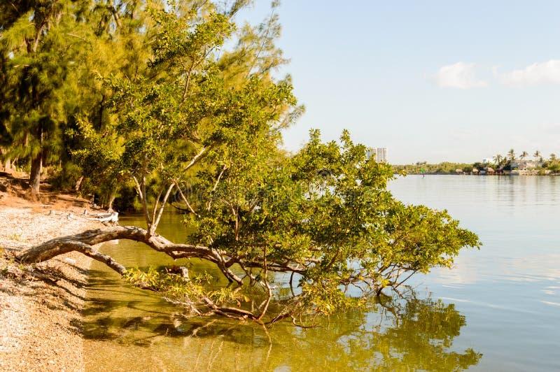生长在水的美洲红树树 库存图片