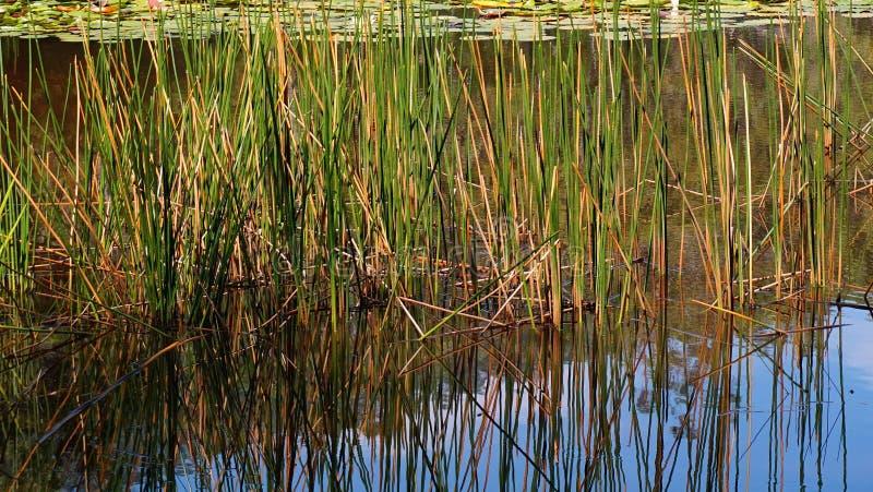 生长在池塘的芦苇 库存照片