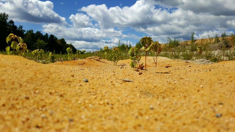 生长在沙子的植物以云彩为背景 免版税库存图片