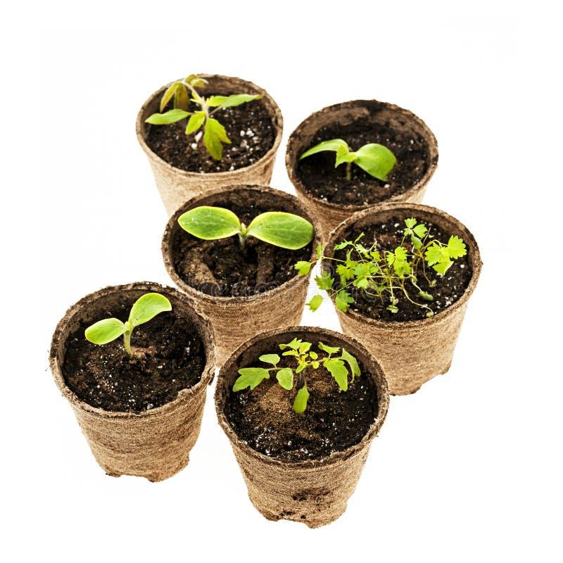 Download 生长在泥炭沼罐的幼木 库存图片. 图片 包括有 工厂, 缓和, 绿色, 查出, 生长, 土壤, 来回, 单个 - 30331079