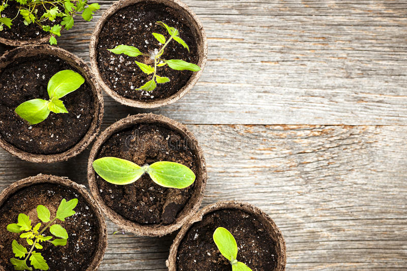 Download 生长在泥炭沼罐的幼木 库存图片. 图片 包括有 幼木, 萌芽, 新芽, 空间, 庭院, 泥煤, 哺育, 少数 - 30331121