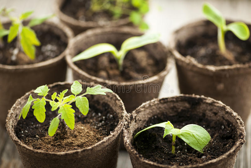 Download 生长在泥炭沼罐的幼木 库存照片. 图片 包括有 叶子, 园艺, 地球, 春天, 有机, 从事园艺, 青苔 - 30331150