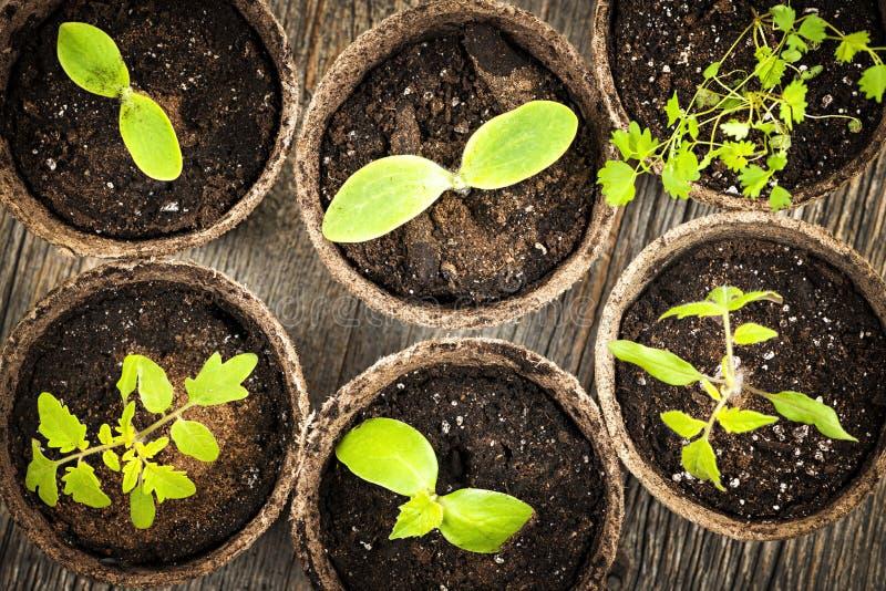 Download 生长在泥炭沼罐的幼木 库存照片. 图片 包括有 泥煤, 地球, 单个, 缓和, 降低, 土壤, 本质, 萌芽 - 30331176