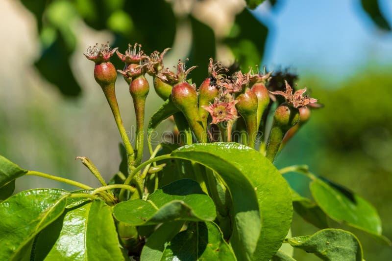 生长在洋梨树果树的小梨特写镜头  库存图片