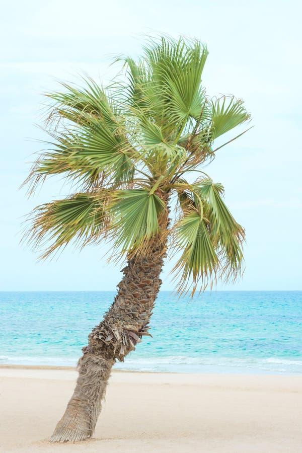 生长在海滩的弯曲的棕榈树 美好的白色沙子绿松石海蓝天 软的淡色 热带假期放松 免版税库存图片