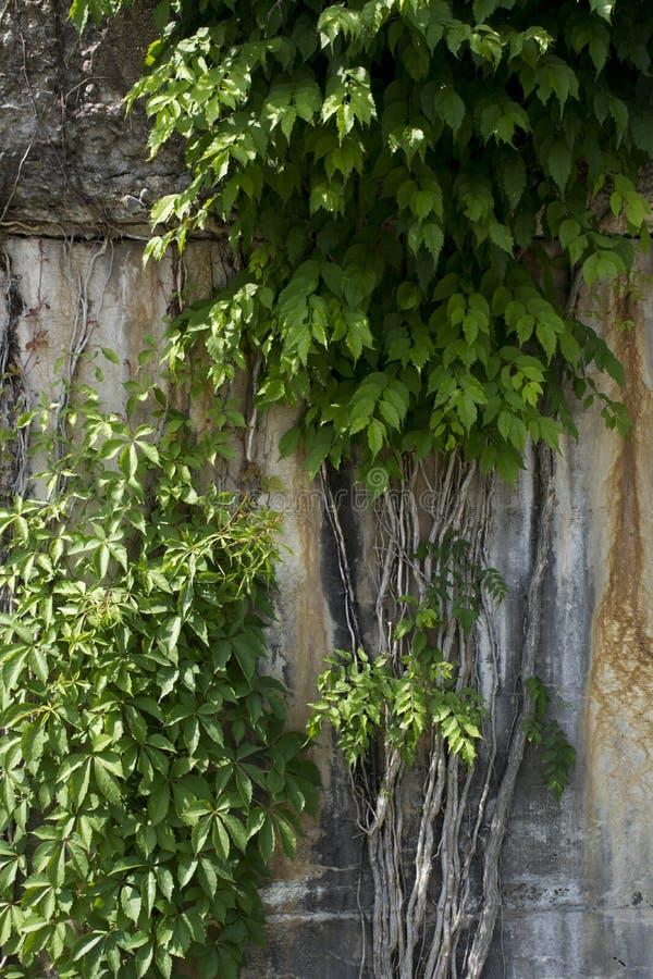 生长在混凝土墙上的藤 免版税库存照片