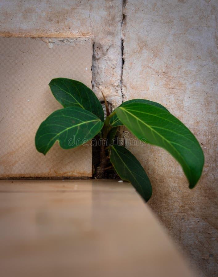 生长在混凝土墙的榕树 免版税库存照片