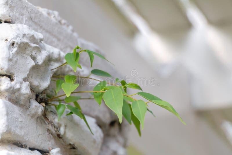 生长在混凝土的小bodhi树 库存图片