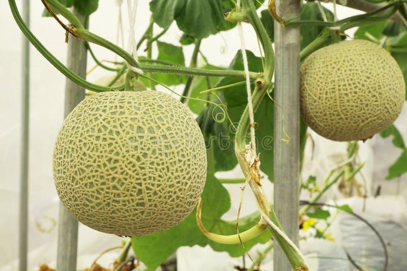 生长在温室农场的新鲜的甜瓜瓜植物 库存照片