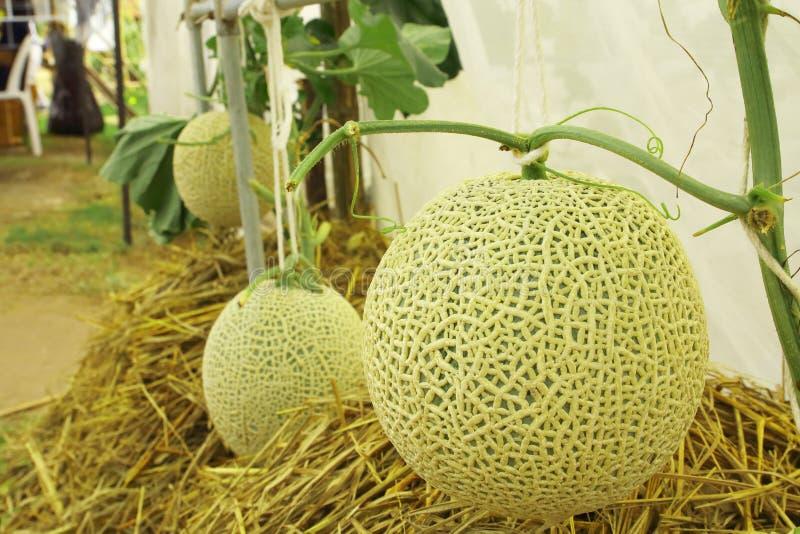 生长在温室农场的新鲜的甜瓜瓜植物 免版税库存照片
