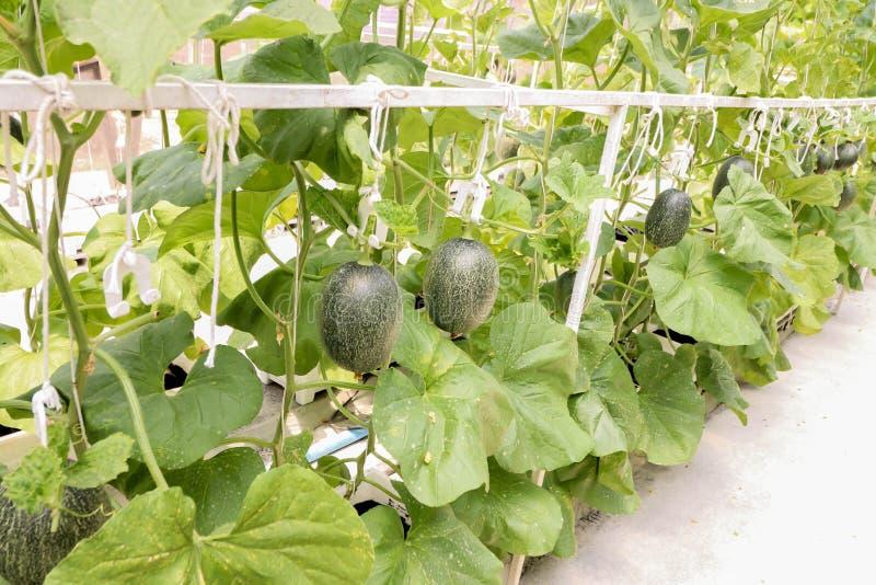 生长在温室有机农场的瓜植物线 库存照片