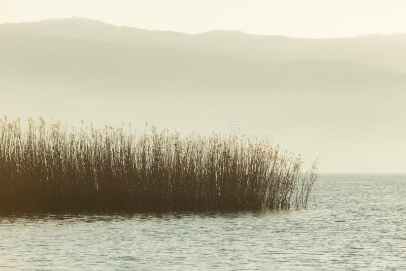 生长在湖伊兹尼克的芦苇 库存照片