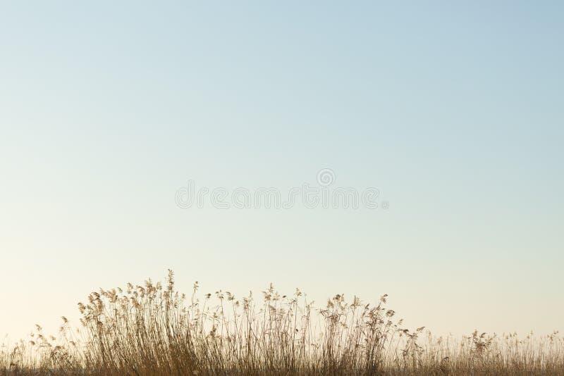 生长在湖伊兹尼克的芦苇 免版税库存图片