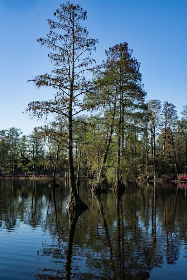生长在湖,南卡罗来纳,美国的柏树 免版税库存照片