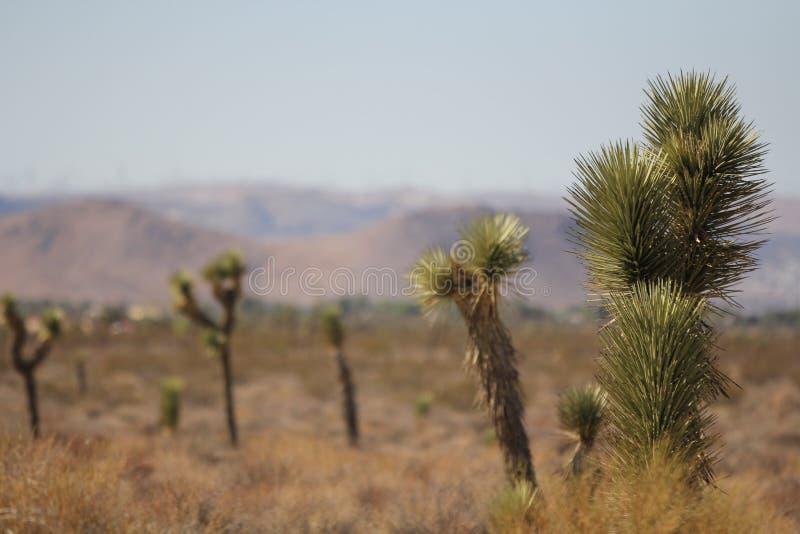 生长在热沙漠的约书亚树。 免版税图库摄影