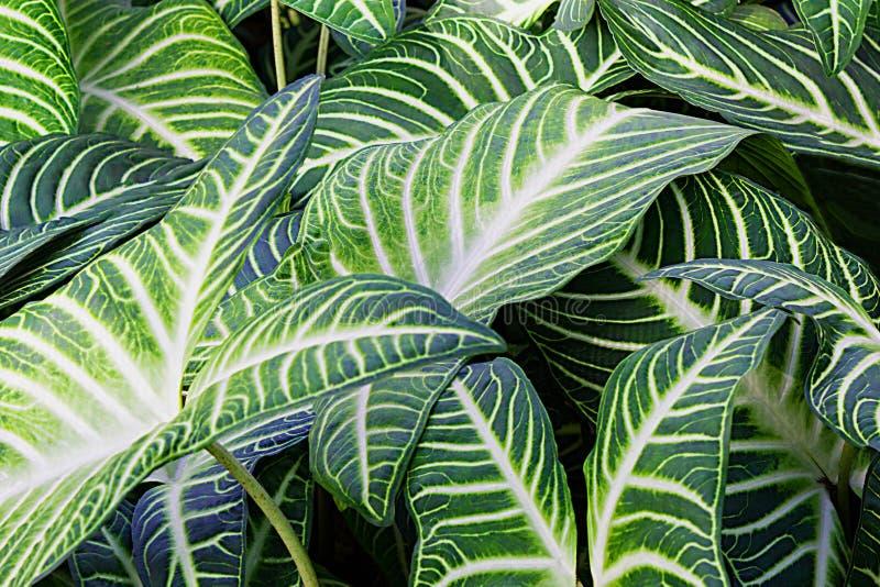 生长在狂放,热带森林里的Xanthsoma厂绿色叶子 免版税库存图片