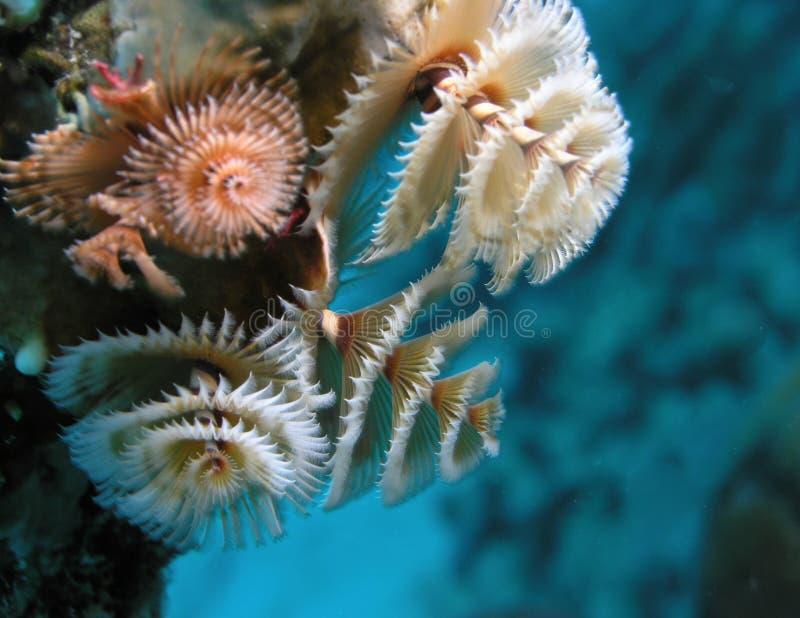 生长在珊瑚礁的水下的圣诞树蠕虫 库存图片