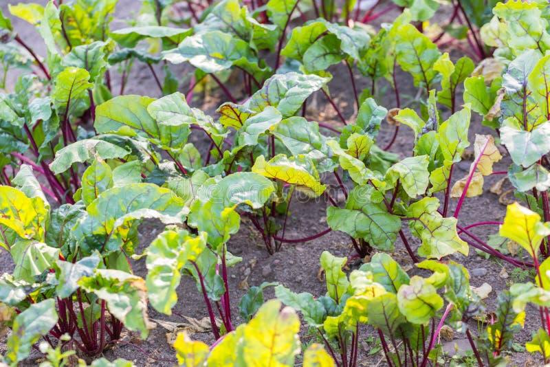 生长在生态庭院里的年轻甜菜根 免版税库存图片