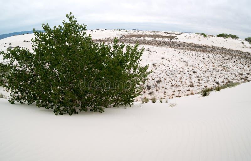 生长在白色沙子的亚斯本 库存照片