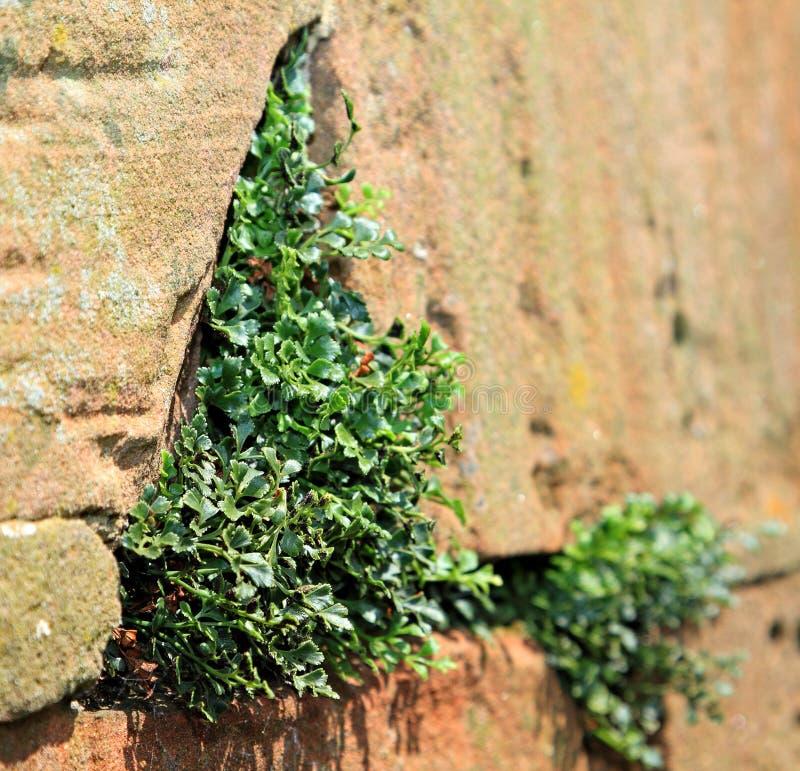 生长在石墙的植物 免版税图库摄影