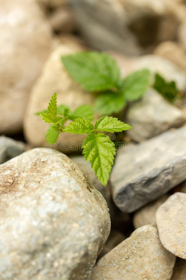 生长在石石渣外面的小莓果藤在华盛顿 免版税库存照片