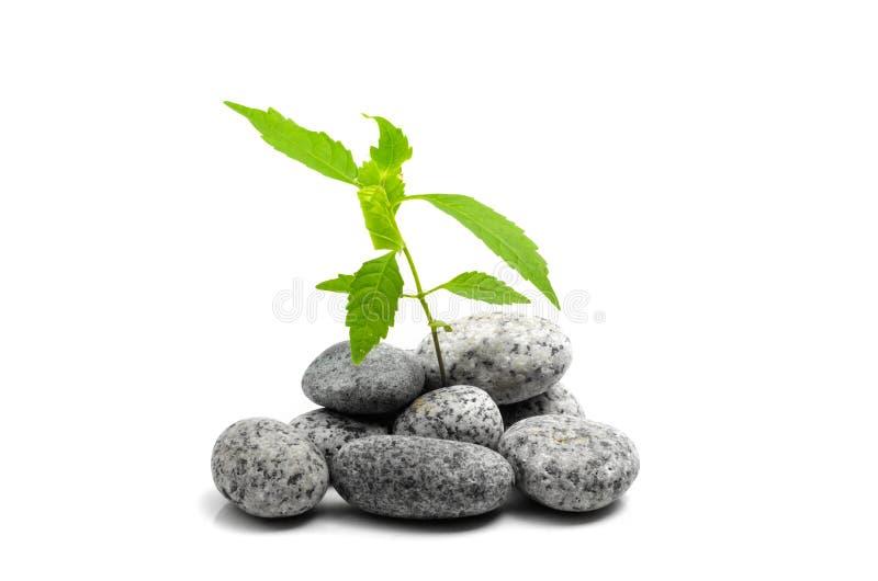 生长在石头的绿色植物年轻新芽 免版税库存图片