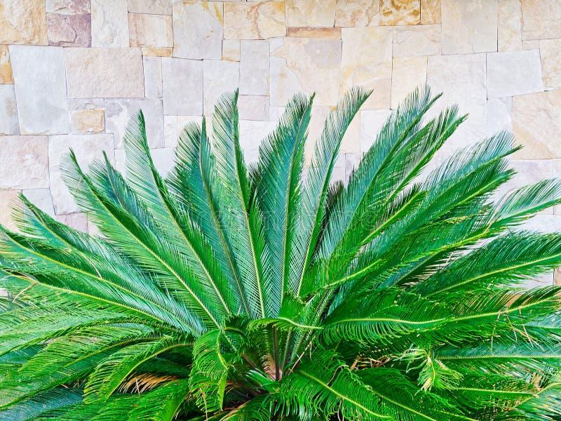 生长在砂岩庭院墙壁附近的豪华的绿色蕨 免版税库存照片