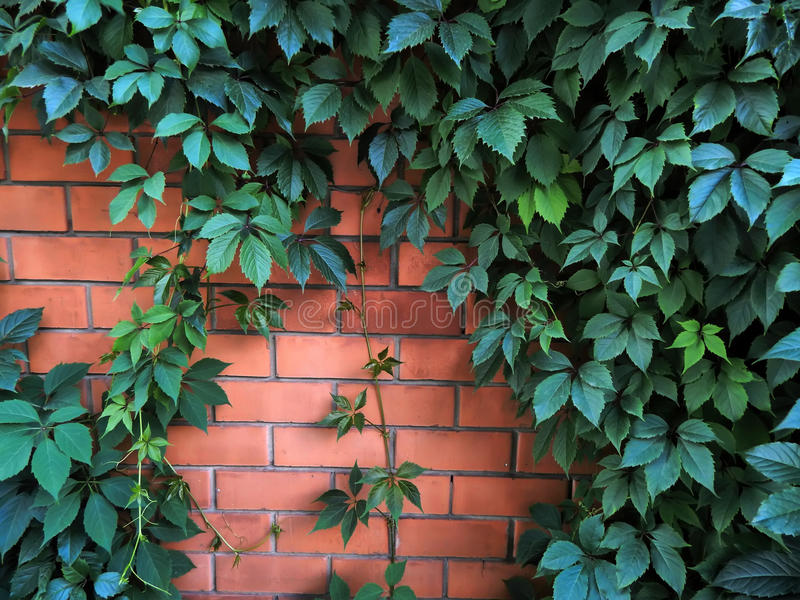 生长在砖墙上的装饰蛇麻草从事园艺 免版税库存图片