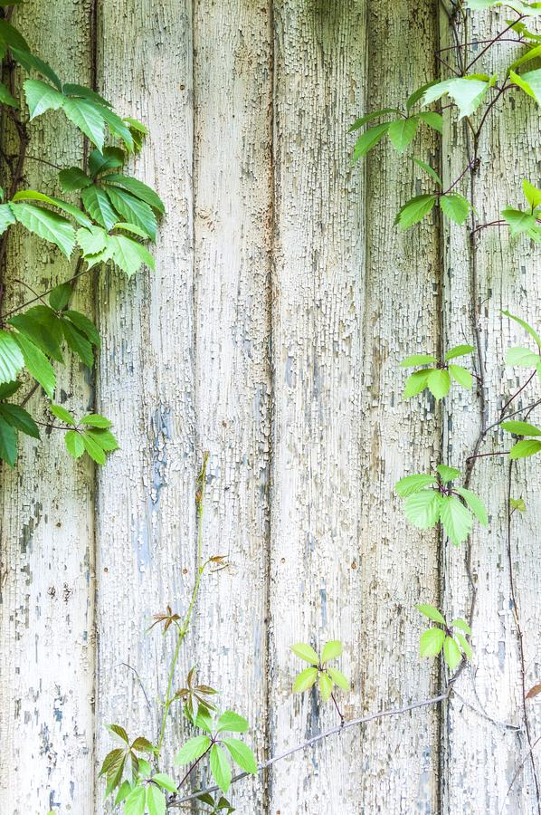 生长在破裂的年迈的木墙壁上的旋花植物绘了木板条纹理背景背景 库存图片