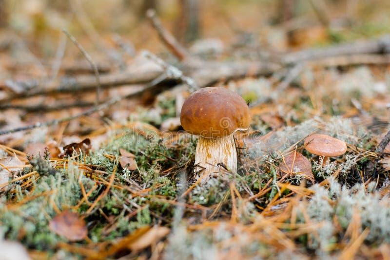 生长在秋天森林里的美丽的白色牛肝菌蕈类蘑菇在青苔下 免版税库存图片