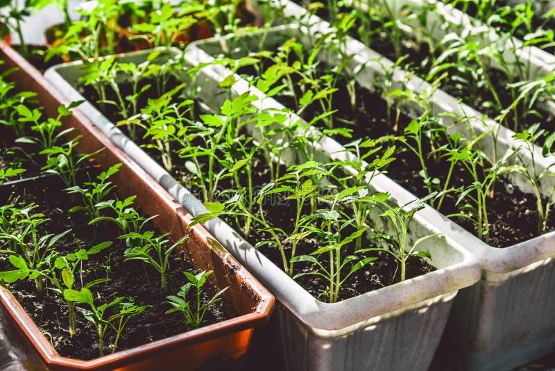 生长在窗台,家庭从事园艺的概念的蕃茄幼木 免版税库存图片