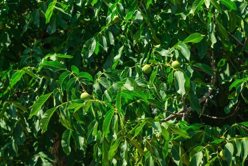 生长在结构树的绿色核桃 在分支的年轻核桃在夏天 免版税库存图片