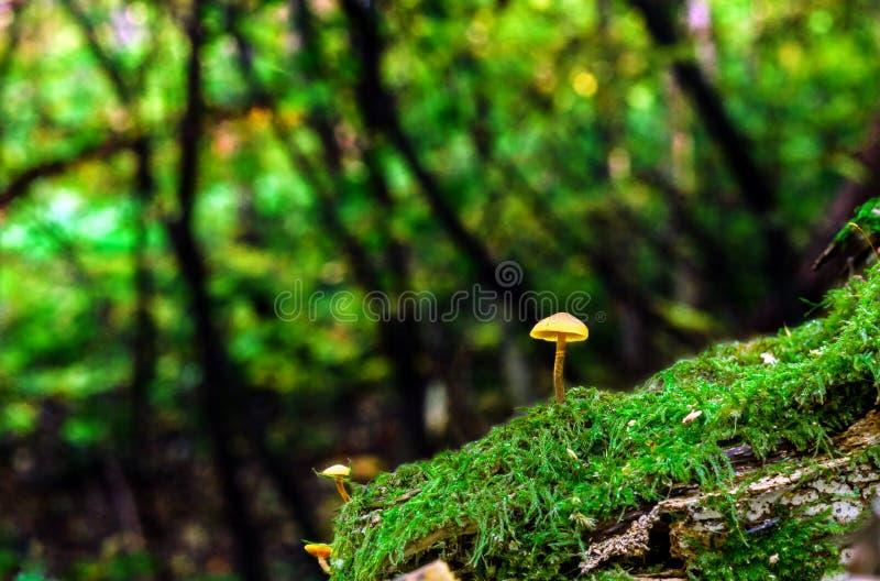 生长在绿色青苔的小的真菌在夏天森林 库存图片