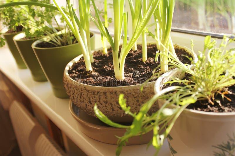 生长在罐的葱和草本年幼植物  免版税库存照片