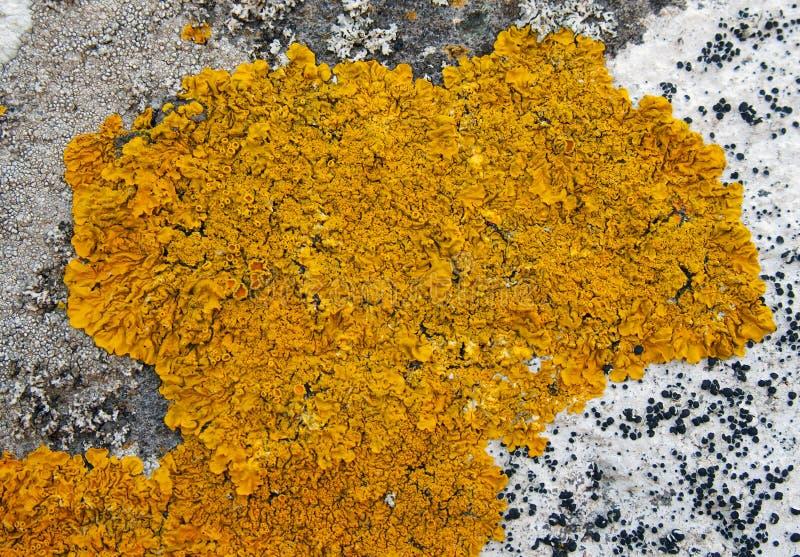 生长在老石墙上的黄色地衣 免版税库存图片