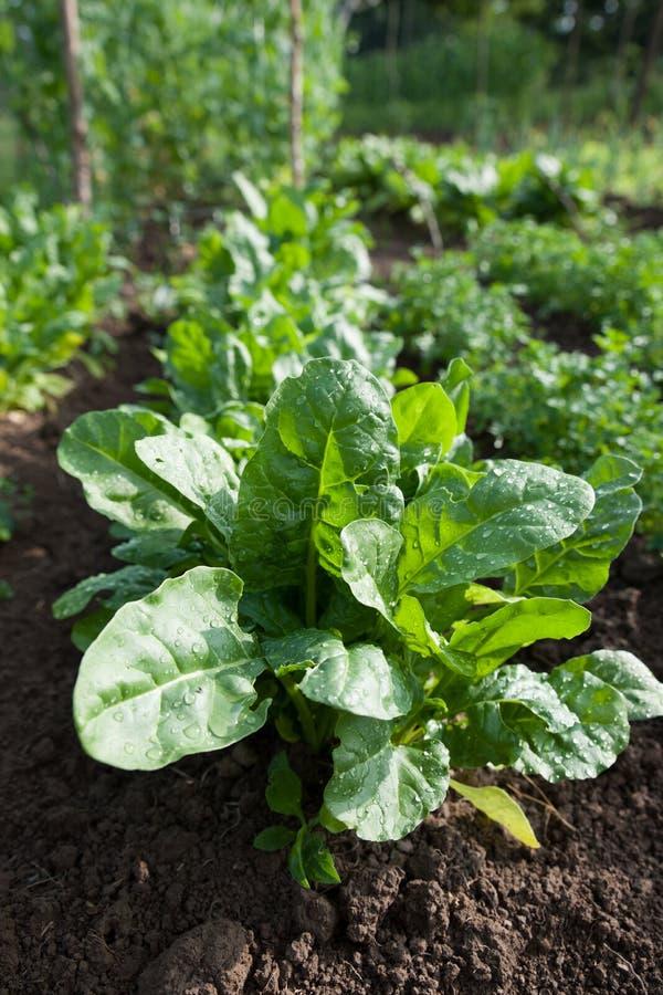 生长在耕种的庭院的新鲜的绿色健康菠菜 免版税库存照片