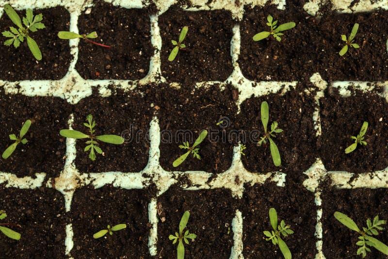 生长在耕种盘子的许多新鲜的幼木 从事园艺在家 库存照片