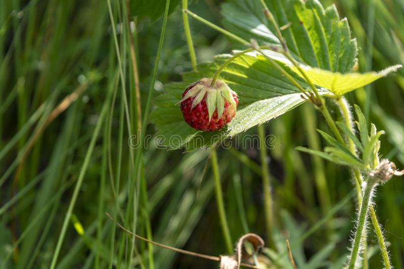 生长在自然环境的野草莓莓果 r 免版税库存照片