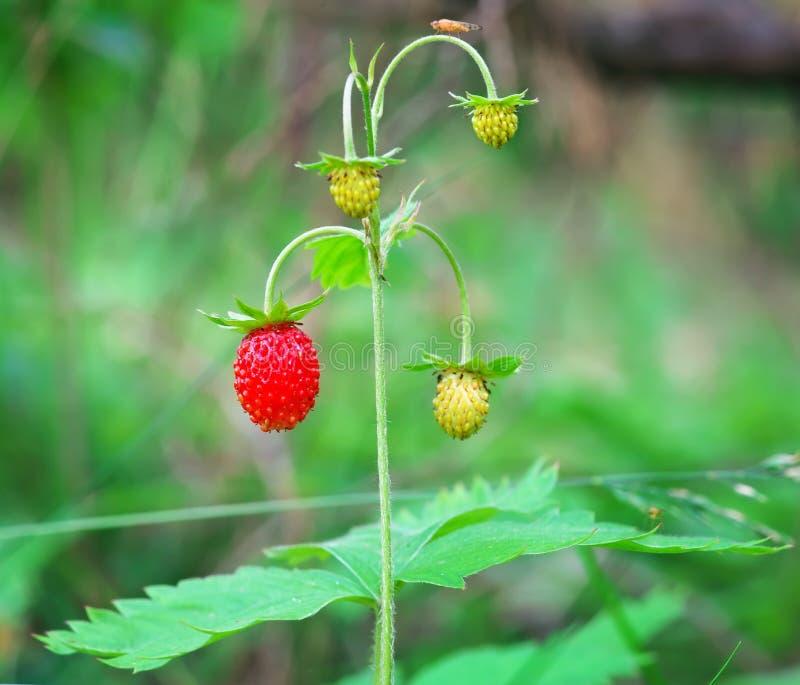 生长在自然环境里的野草莓莓果 免版税库存照片