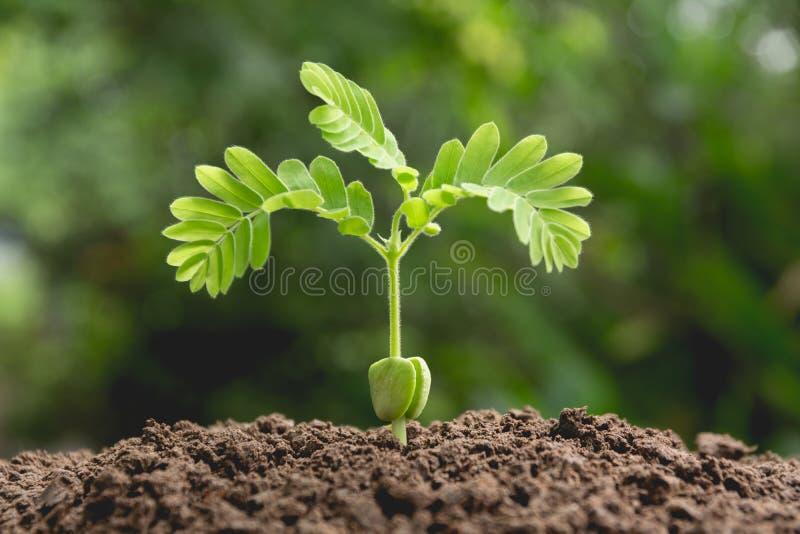 生长在自然背景的土壤的绿色年幼植物 库存照片