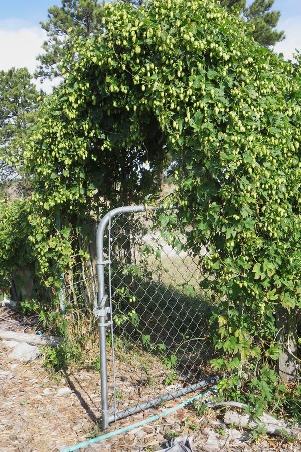 生长在花园大门的蛇麻草 免版税图库摄影