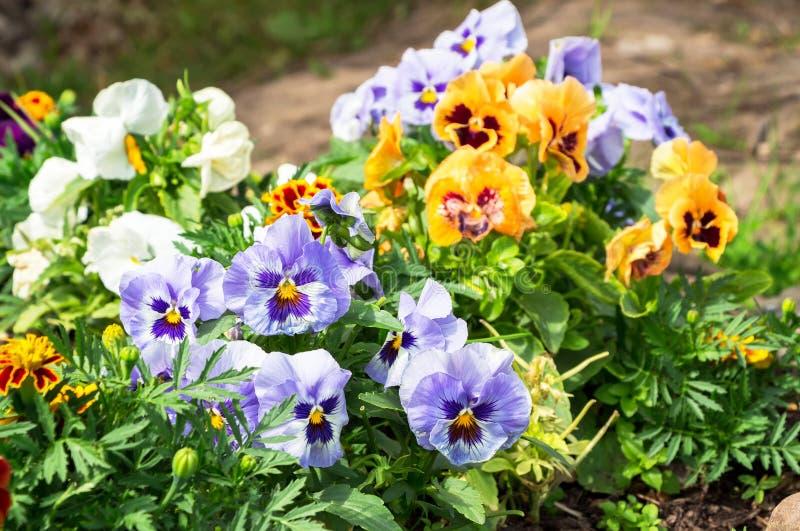 生长在花圃的美丽的蝴蝶花或中提琴在庭院里 库存图片