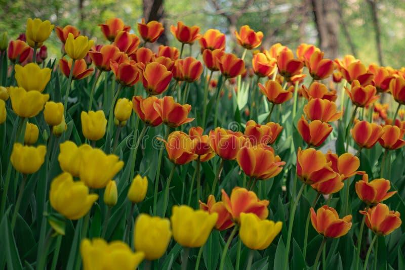 生长在花圃里的黄色和红色郁金香 图库摄影
