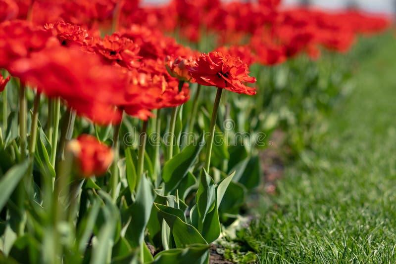 生长在花圃里的黄色,白色和红色郁金香 库存图片