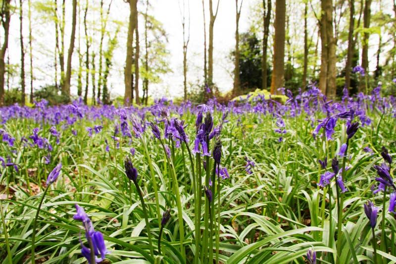 生长在英国森林地地板上的会开蓝色钟形花的草 免版税图库摄影