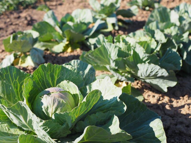 生长在菜园或领域里的圆白菜 免版税库存图片