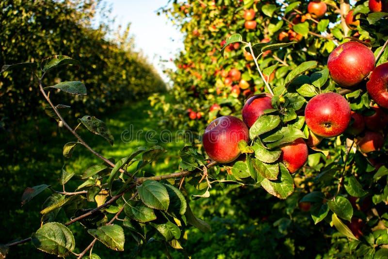 生长在行的苹果树用在前景的红色苹果 免版税图库摄影
